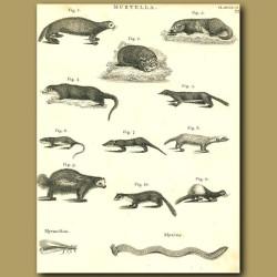 Otter, Skunk, Stoat, Weasel:  etc.