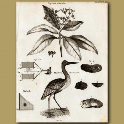 Allspice Tree And American Wood Stork