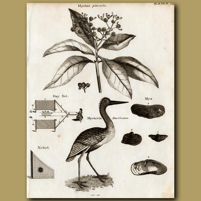 Antique print. Allspice Tree and American Wood Stork