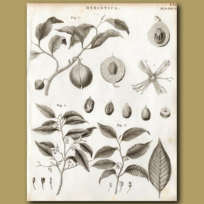 Antique print. Nutmeg Tree