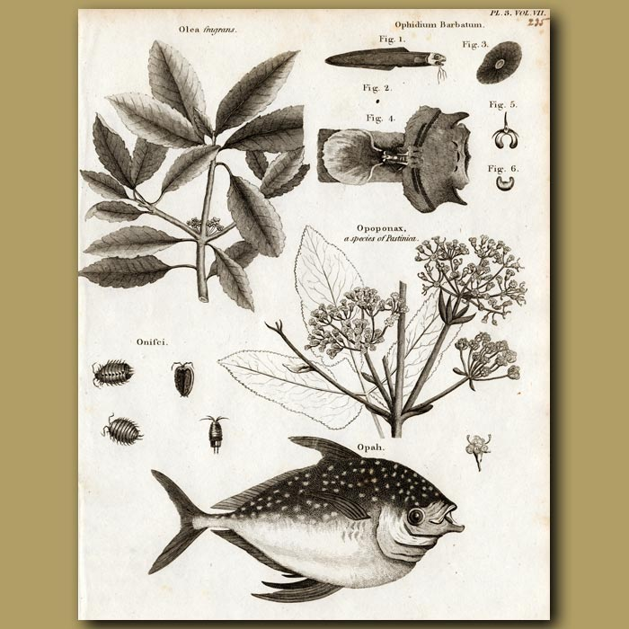 Antique print. Sweet Olive Tree and Moonfish