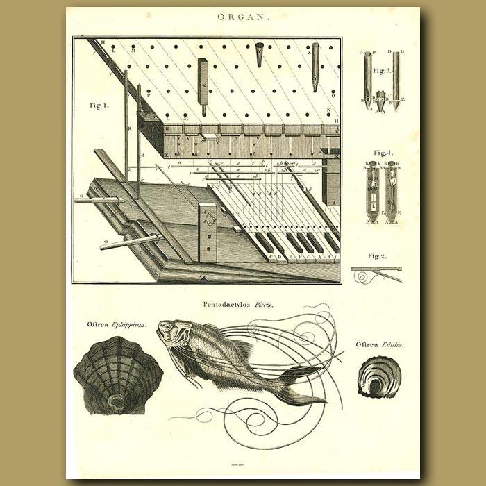 Antique print. Organ