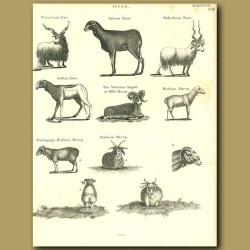 Sheep: Indian Ram, Russian Sheep etc.