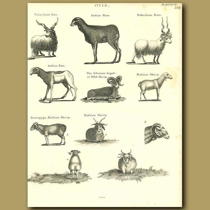 Antique print. Sheep: Indian Ram, Russian Sheep etc.