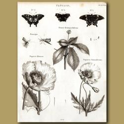 Common Poppy and Opium Poppy, butterflies