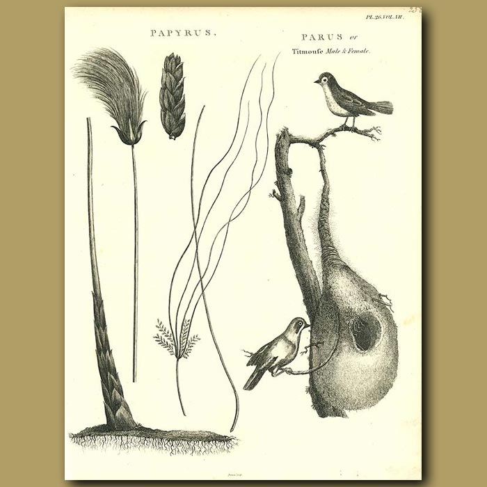 Antique print. Weaver Birds and nest