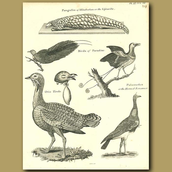 Antique print. Birds: Great Bustard, Birds of Paradise etc.