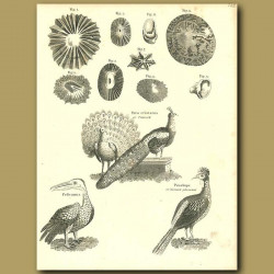 Birds: Peacock, Pelican And Horned Pheasant Etc.