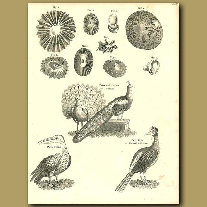 Antique print. Birds: Peacock, Pelican and Horned Pheasant etc.
