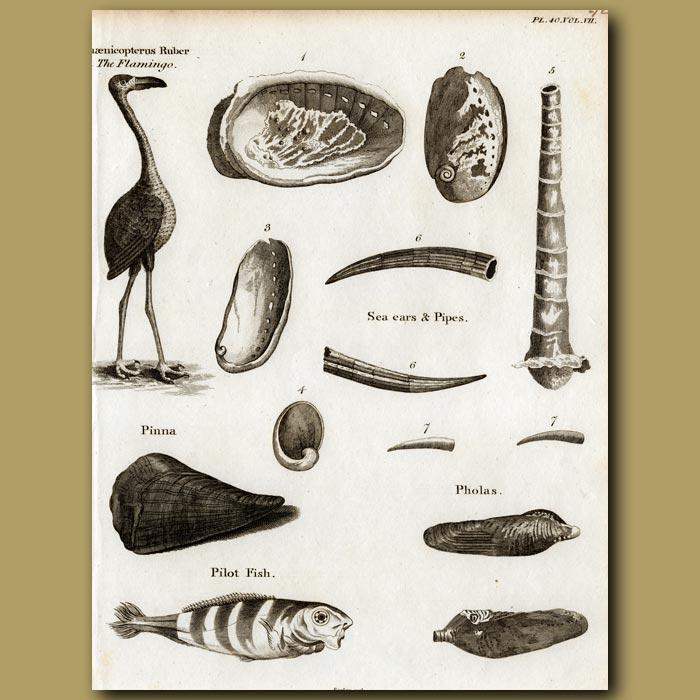 Antique print. Flamingo, Abalone shell, Pinnna and Pilot fish