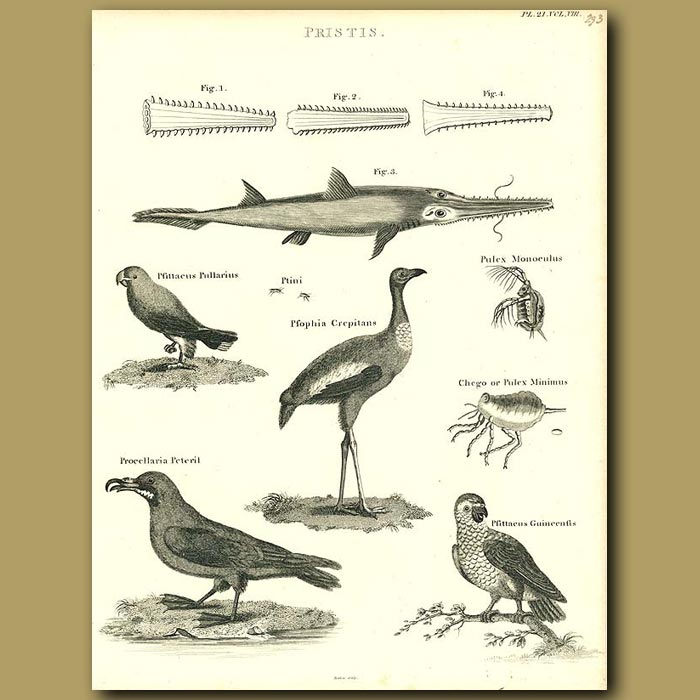Antique print. Swordfish, Parrots and Crane