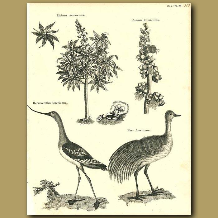 Antique print. Birds: Curve-billed Stilt and Rhea etc.