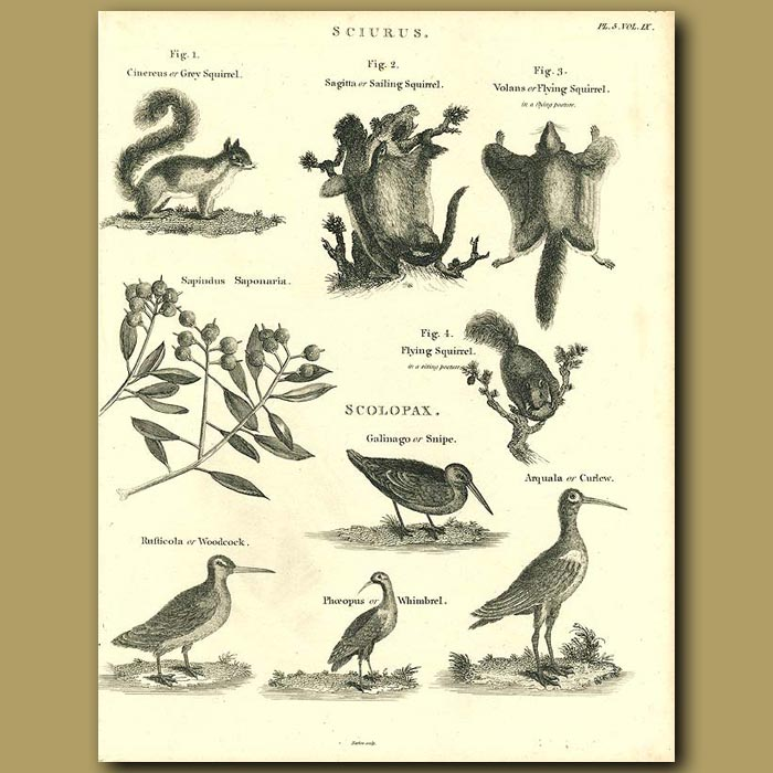 Antique print. Grey Squirrel, Flying Squirrel and game birds