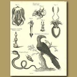 Squid, Octopus, Channel-Billed Cuckoo