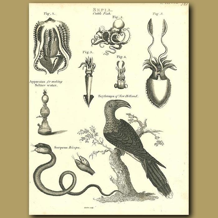 Antique print. Squid, Octopus, Channel-billed Cuckoo