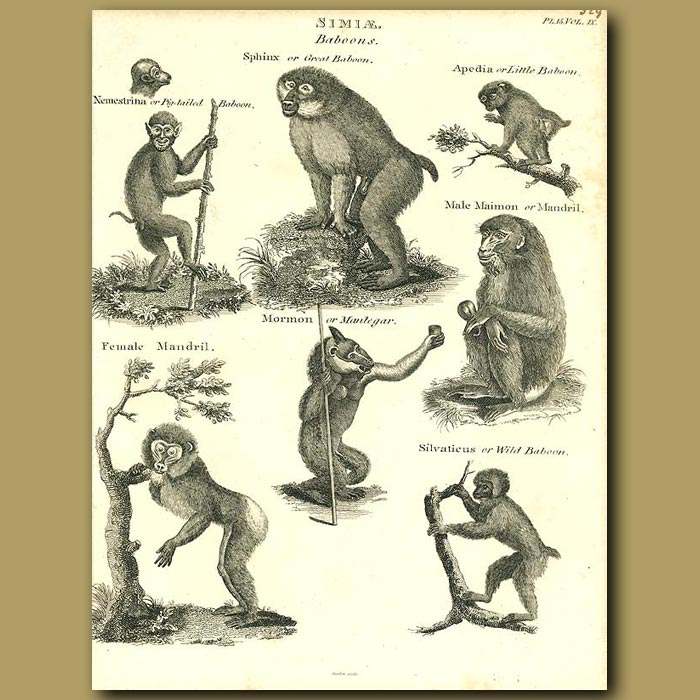 Antique print. Baboon, Mandrill