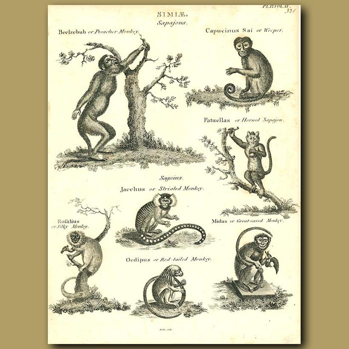 Antique print. Monkeys - Capuchin, Silky, Red-tailed Monkey