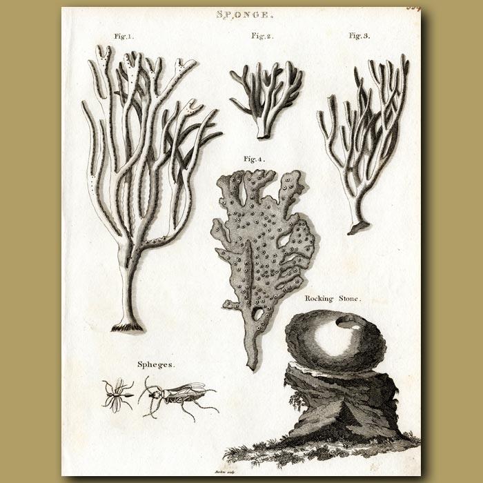 Antique print. Sea sponges