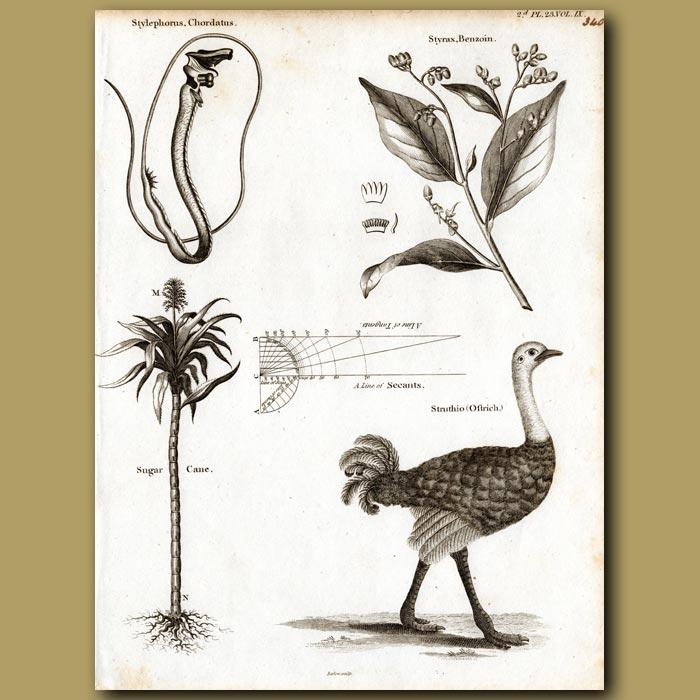 Antique print. Deep sea Tube-eye fish, Sugar cane and Ostrich