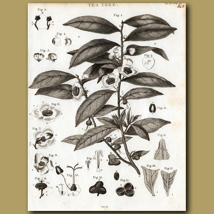 Antique print. Tea Tree