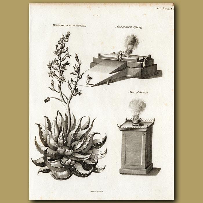 Antique print. Pearl Aloe