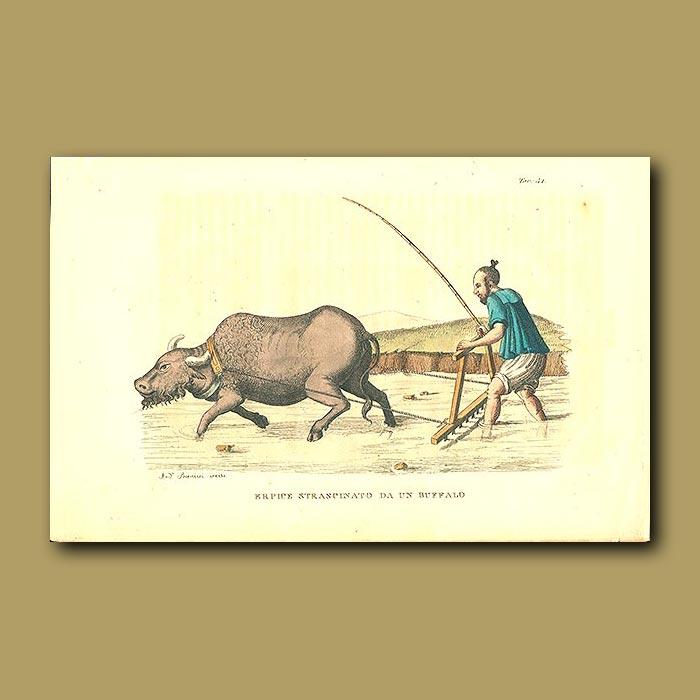 Antique print. Water buffalo