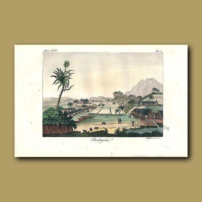 Antique print. Sugar cane plantations
