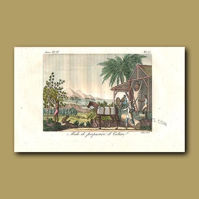 Antique print. Preparing the cotton