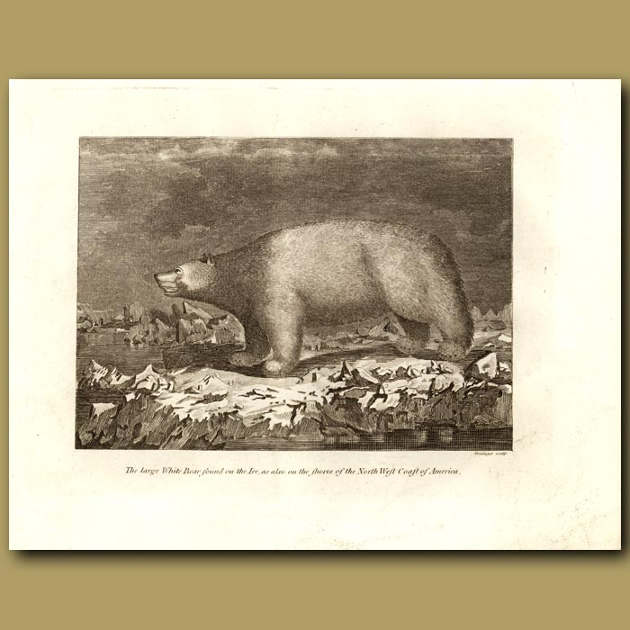 Antique print. The Large White Bear Found On The Ice, As Also On The Shores Of The North West Coast Of America (Polar Bear)