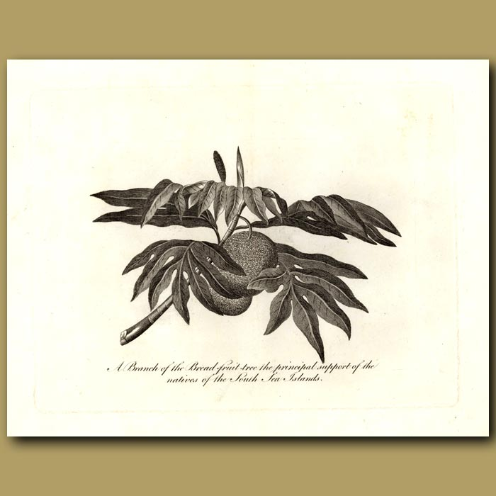 Antique print. A Branch Of The Breadfruit Tree The Principal Support Of The Natives Of The South Sea Islands
