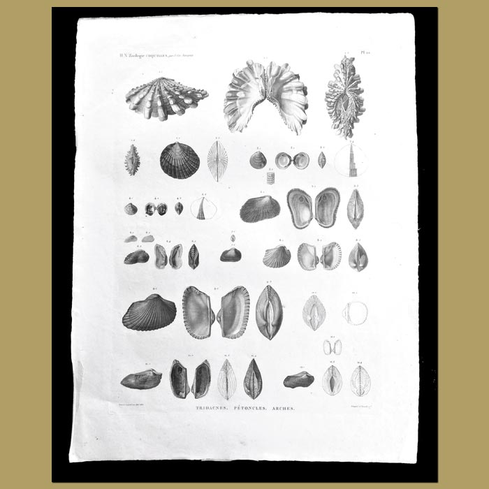 Antique print. Clam and Scallops Shells