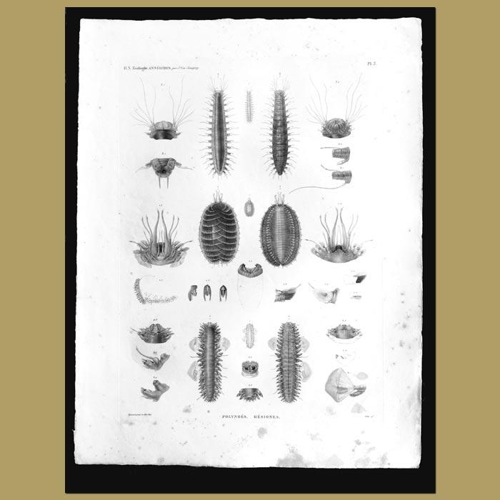 Antique print. Annelids