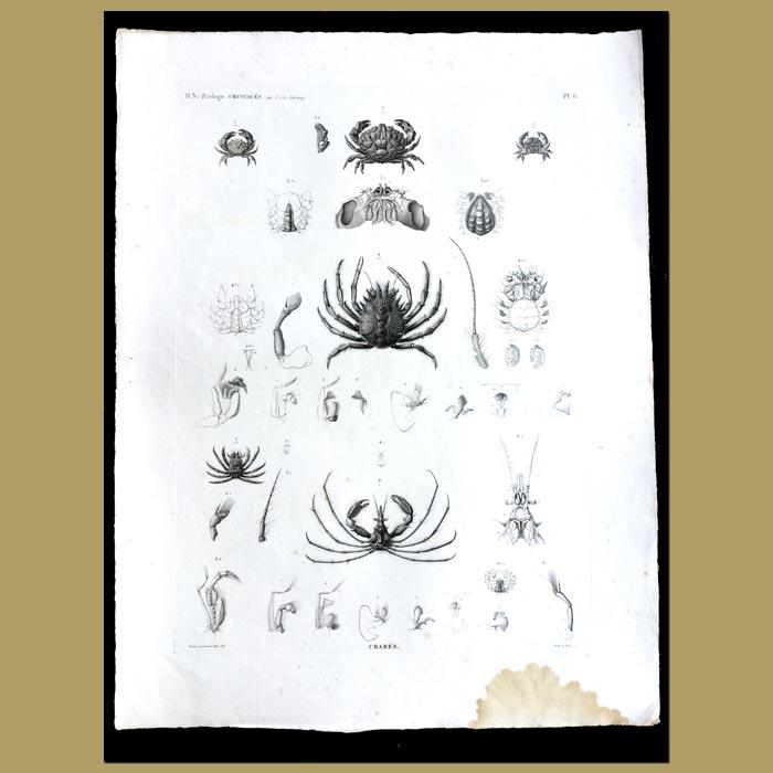 Antique print. Crabs