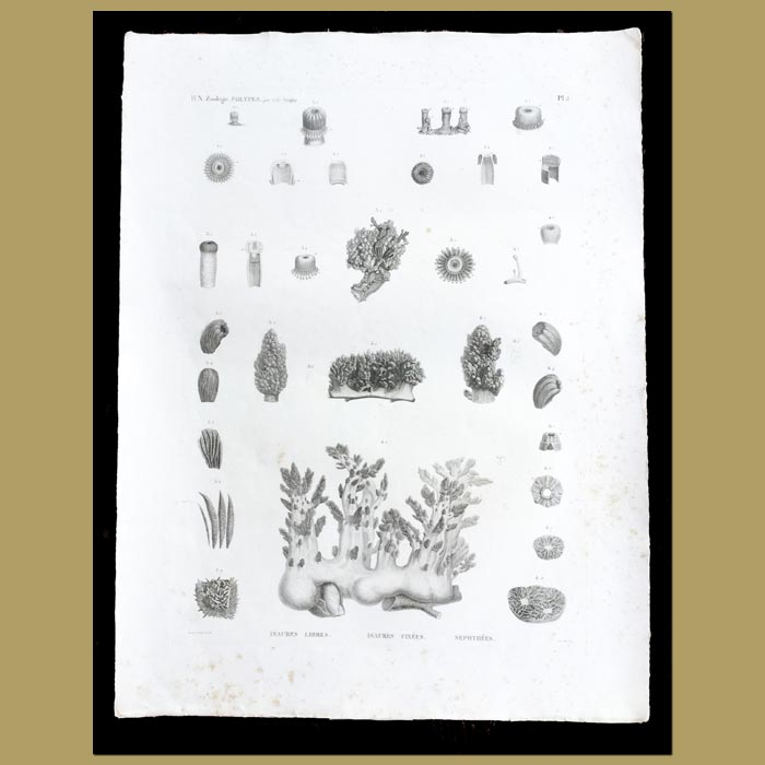 Antique print. Sea Anemones and Soft Coral