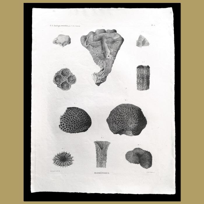 Antique print. Stony Corals