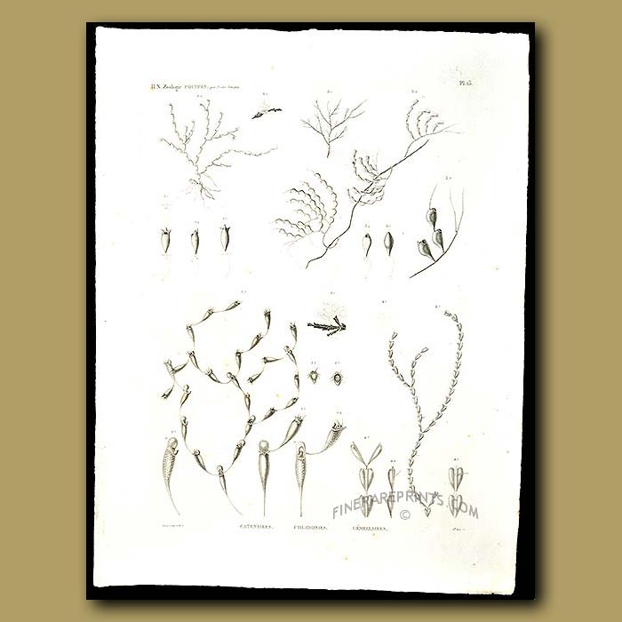 Antique print. Coral Polyps