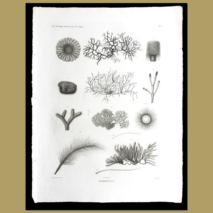 Antique print. Soft Corals