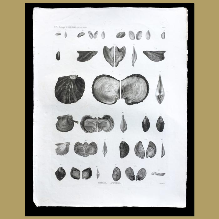 Antique print. Mussel and Oyster Shells