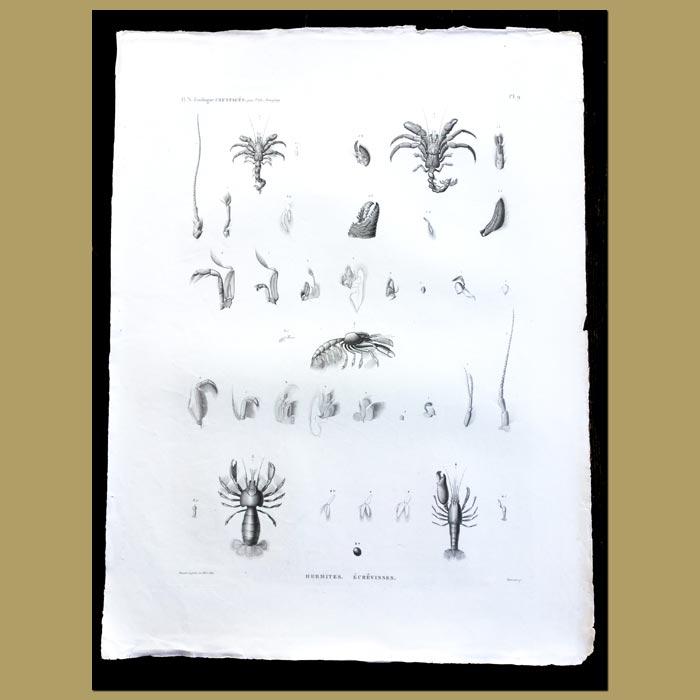 Antique print. Hermit Crabs and Crayfish