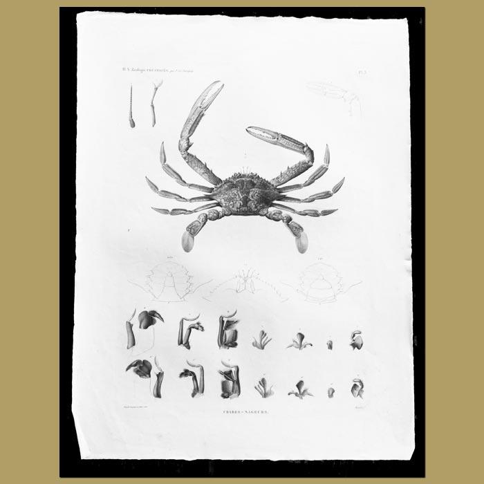Antique print. Blue Swimming Crab