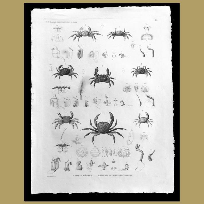 Antique print. Fresh Water Crabs