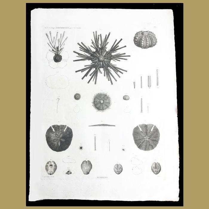 Antique print. Sea Urchins