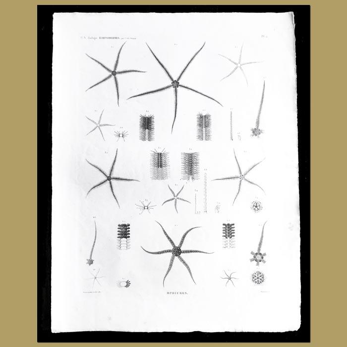 Antique print. Brittle Stars