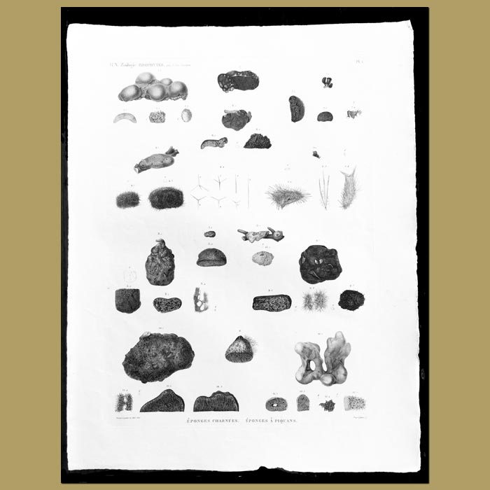 Antique print. Fleshy and Prickly Sea Sponges