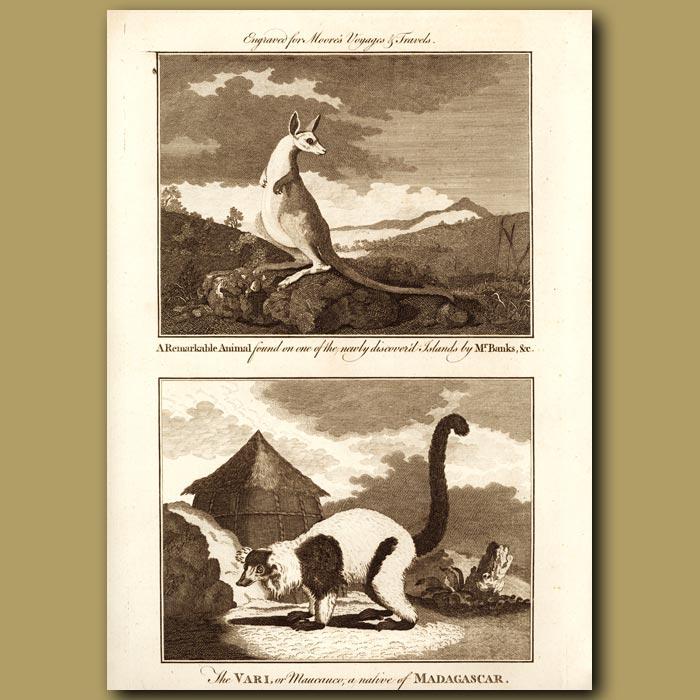 Antique print. A Remarkable Animal Found By Mr Banks (Kangaroo). The Vari (Lemur) a Native of Madagascar