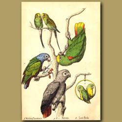 Love Birds, Parrots And Warbling Parrakeets