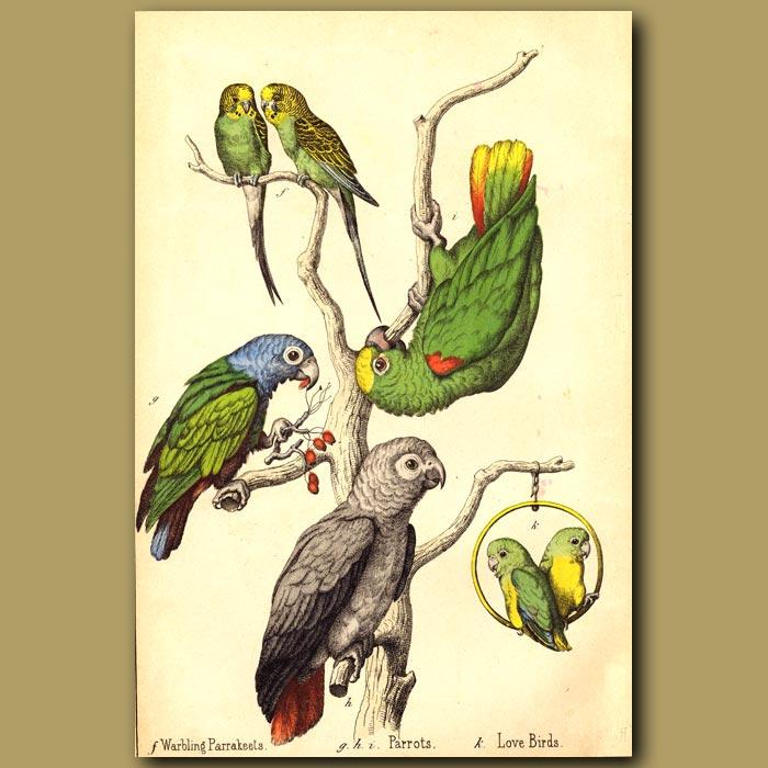 Antique print. Love Birds, Parrots and Warbling Parrakeets