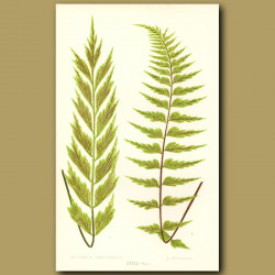 Toothed Fern