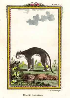 Black Cougar. Beautiful antique engraving from 1793