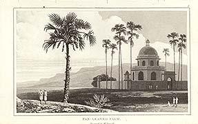 Betel Palm Tree  antique aquatint by William Daniell